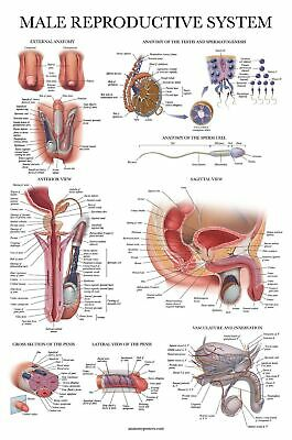 Laminated Male Reproductive System Anatomical Chart - Male Anatomy Poster - 1...