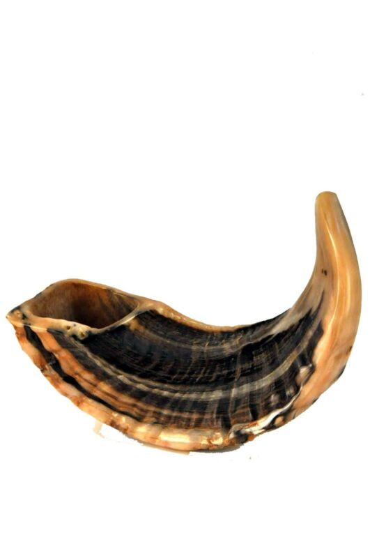 Ram's Horn Shofar 12-14 inches (HL062) NEW from the Holy Land