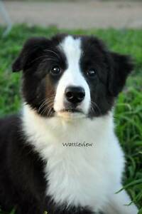 Border Collie Puppies - One male only - ON HOLD