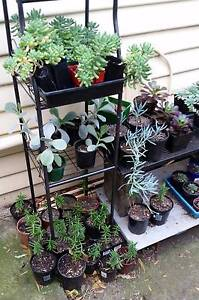 Established Succulents $3 each or 4 for $10 Otago Clarence Area Preview
