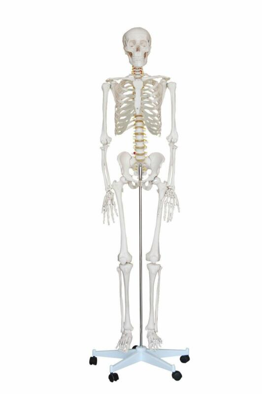 Anatomical Skeleton Model Ebay