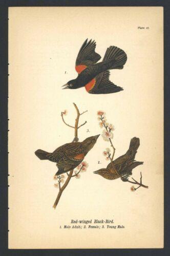 BLACK BIRD, Vintage 1890 Chromolithograph, Color Bird Print Antique, 027
