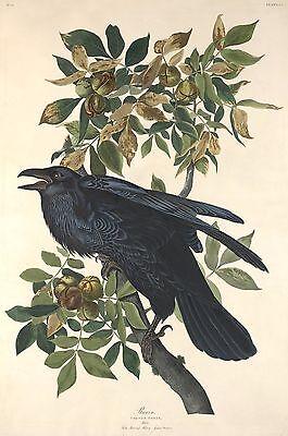 Audubon Reproductions: Birds of America - Raven - Fine Art Print