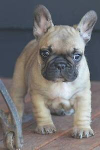 CRACKING FAWN. CHOC CARRIER FEMALE FRENCH BULLDOG ON MAINS Brisbane City Brisbane North West Preview