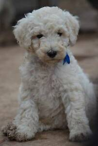 ~~AMAZING CREAM MALE STANDARD POODLE PUPPY~~...BLUE