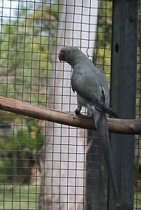 Indian Ringneck Emerald Grey breeding hen Camira Ipswich City Preview