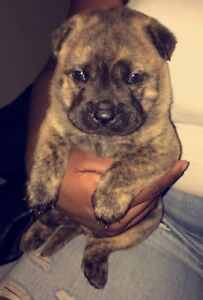 Chow puppies need a new home