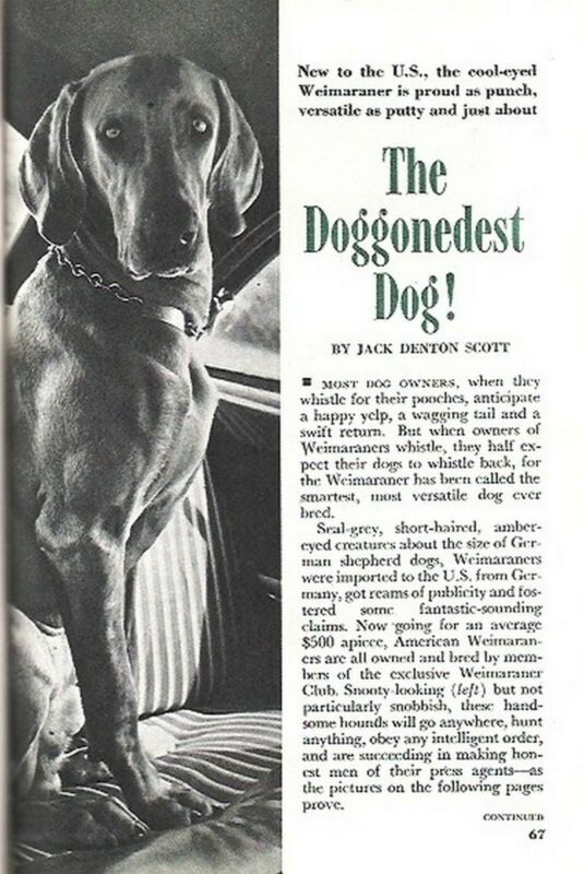 WEIMARANER DOG New to America 1951 PROUD & VERSATILE PICTORIAL RETRIEVER SHOWMAN