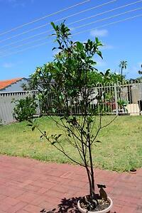 Fig Tree, ornamental Greenwood Joondalup Area Preview