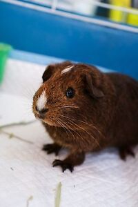 Beautiful 4 months old guinea pig for sale Gordon Ku-ring-gai Area Preview