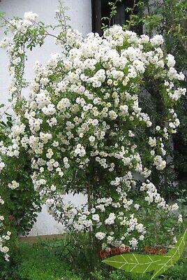 weiße Rambler Rose Lykkefund duftend Kletterrose reichblühend 100-125 cm im Topf