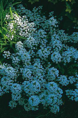 Flower - Alyssum - Carpet of Snow