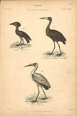 Birds  Tufted Umbre  Milkey Ibio Vintage Home Decor  1860 Original Antique Print