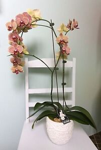 Phalaenopsis orchid Brighton East Bayside Area Preview