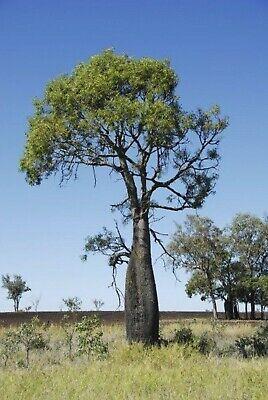 10 Australian Bottle Tree Seeds Palm Tropical Perennial Tree Ornimental Seed