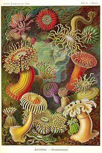 Kunstformen der Natur ART FORMS IN NATURE Ernst Haeckel LARGE PRINTS on DVD-Rom