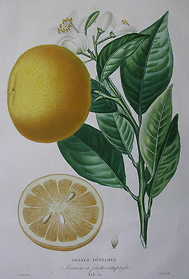 ORANGE, A. POITEAU, A. RISSO, PUNKTIERSTICH, STIPPLE, PLATE NO. 5, ~1820