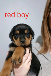 Rottweiler Puppies Dogs Puppies Gumtree Australia Mundaring