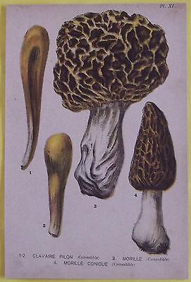 Old Print 1880 Original Mushrooms clavaire Pilon, & Morel Morel Conic