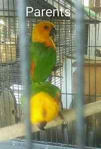 Jenday conure handraised male & female Windsor Hawkesbury Area Preview