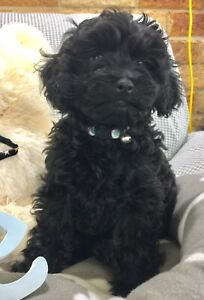 Tiny Toy Boy Cavoodle Reduced