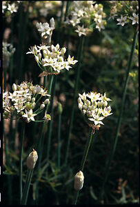 Chives - Garlic - Appx 300 seeds - Herbs