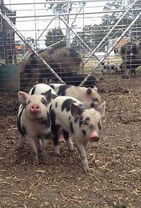 Pigs (slips) for SALE Evandale Northern Midlands Preview