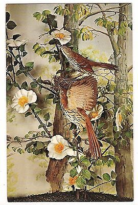 GEORGIA STATE BIRD the BROWN THRASHER, Cherokee Rose, Oak Art Display Postcard