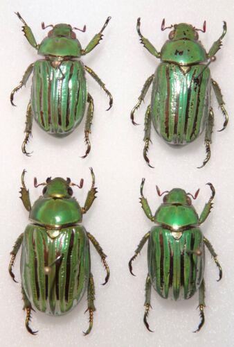 Rutelinae 4 Chrysina gloriosa specimens Arizona Jewel Scarab Beetle Insect