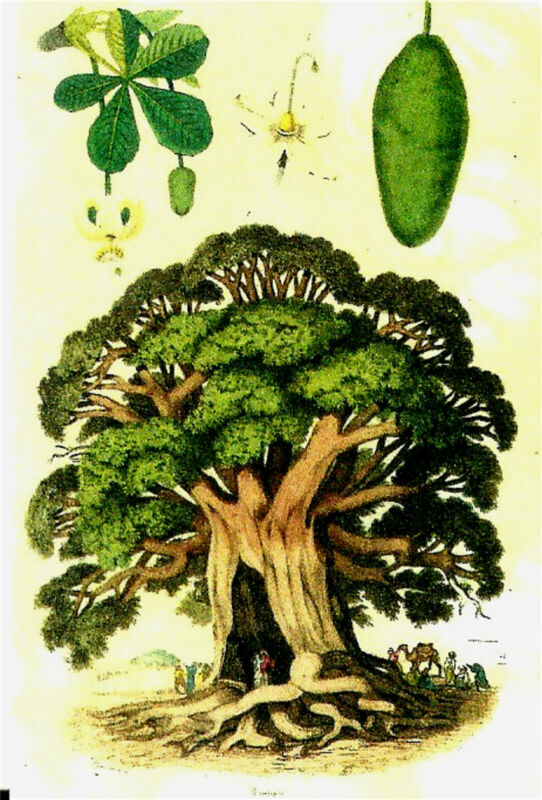 MINIATURE ANTIQUE BOTANY BAOBAB TREE 1839 BOTANICAL PRINT OR FOR DOLLHOUSE