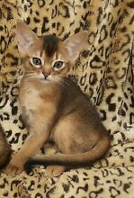 ABYSSINIAN TAWNY FEMALE KITTEN looking for her loving home Wanneroo Wanneroo Area Preview