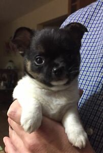Super friendly CKC reg chihuahua puppy