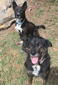 2 Kelpies FREE TO GOOD HOME Dural Hornsby Area Preview
