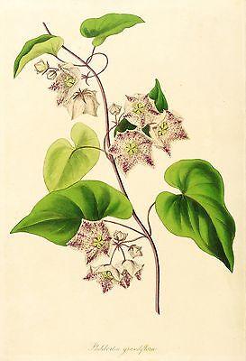 SACROSTEMMA - Philibertia grandiflora - Paxton - kolorierter Kupferstich 1837