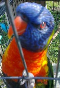 LOST RAINBOW LORIKEET 9th January, 2017 Lorn Maitland Area Preview