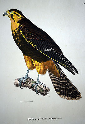 FALKE männl. RAUBVOGEL sehr schöner handkolorierter Kupferstich 1830 Original