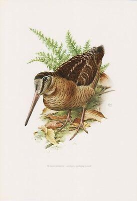 Waldschnepfe (Scolopax rusticola) Steinschnepfe   Farbdruck 1958 Ornithologie