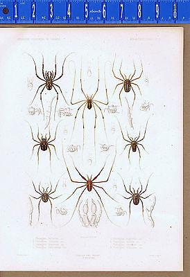 Spiders  Phalangium Is A Genus Of Harvestmen  1849 Zoology Lilithograph