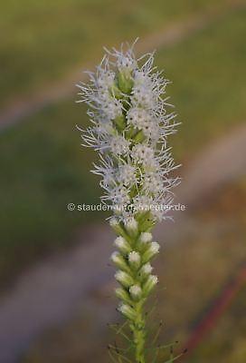 Weisse Garten-Prachtscharte (Liatris spicata