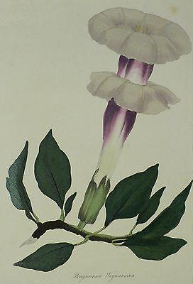 ENGELSTROMPETEN - Paxton - Brugmansia Waymaniana - kolorierte Aquatinta 1834