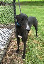 Black male greyhound Devon Meadows Casey Area Preview