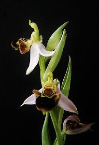 Ophrys apifera fast blühfähig  RARE Orchid Dactylorhiza Cypripedium Orchis
