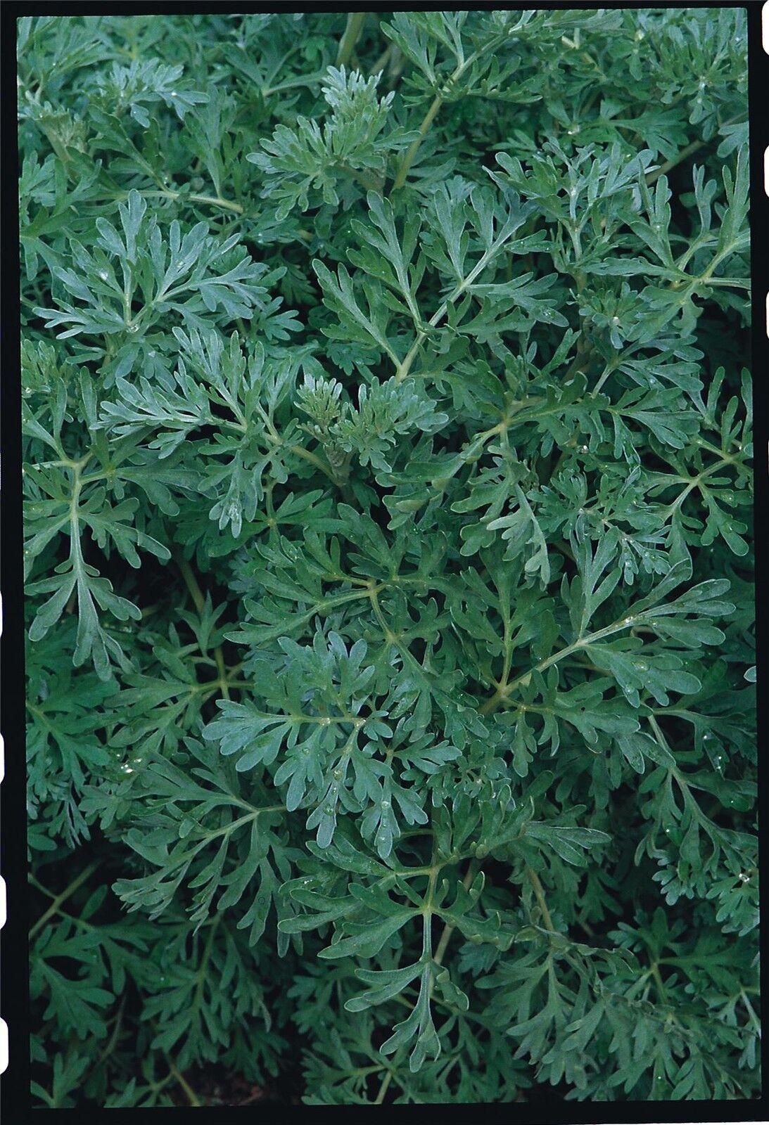 seeds Mecidinal Artemisia absinthium 2000 seeds Wormwood Bio