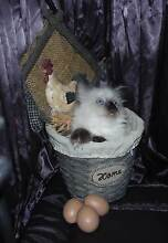 Show quality Kitten - Registered Breeder. Grafton Clarence Valley Preview