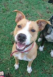 American staffy Wollongong Wollongong Area Preview