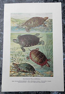 Amerikanische Wasserschildkröten (Glyptemys) Sumpfschildkröte  Farbdruck 1953