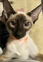 Siamese kitten for a good home