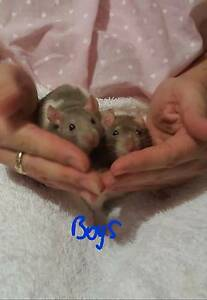 Pet Rats- babies and juvenile Ridgewood Wanneroo Area Preview