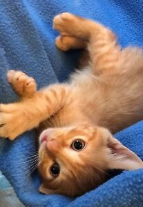 Last two kittens from the litter (of 7) Chain Valley Bay Wyong Area Preview