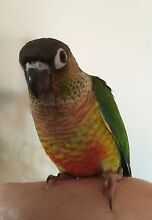 NEED GONE TODAY! SUPER TAME YELLOWSIDED BABY CONURES Mudgeeraba Gold Coast South Preview